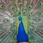 Peacock in Park in Victoria