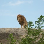 Day 2 - Lion King Shot in Serengeti - 2012-09-14 at 14-20-39