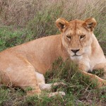 Day 3 - Lioness - 2012-09-15 at 13-06-46