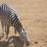 Day 4 - Zebras Scratch Too - Nogorogoro - 2012-09-16 at 09-48-07