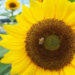 Sunflower at Schiphol with Bee - 2012-09-01 at 01-08-38